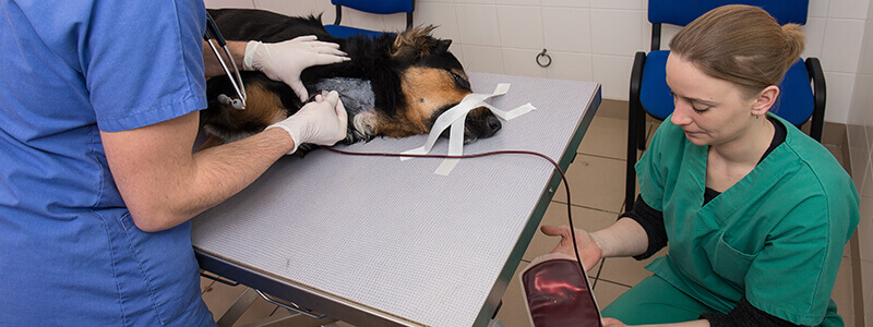 A dog laying on a table receiving a blood transfusion