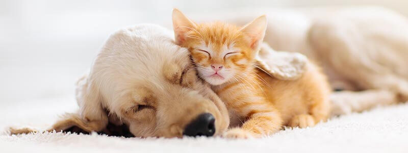 A kitten and a puppy taking a nap together