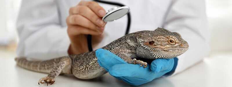 An iguana being examined by a vet